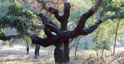 Silvacoop relance la filière de la récolte du liège en Corse