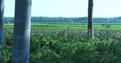 Alliance Forêts Bois investit dans la Pépinière de la Dive, dédiée au peuplier